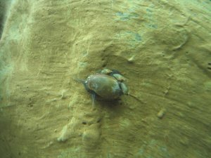 Physella acuta