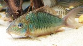 Brochis splendens fische