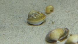Corbicula fluminea Wirbellose