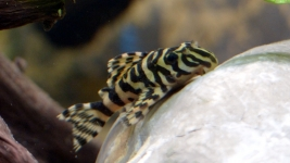 Peckoltia compta L134