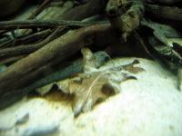 Bunocephalus coracoideus - Bratpfannenwels 16.5.2014