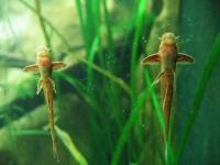 Leliella spec. rot