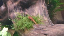 Leliella spec rot