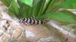 Tapajos Zebra L134, juvenil, etwa 30 mm